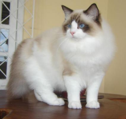 Unduh 87+  Gambar Kucing Tercantik Paling Bagus